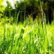 Bright rich green grass — Stock Photo