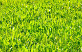 Green spring grass — Stock Photo
