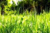 Bright rich green grass — Stock Photo