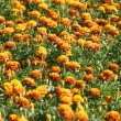 Orange flowers field — Stock Photo