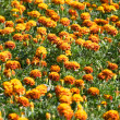 Orange flowers field - Stock Photo