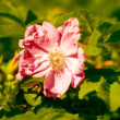 Dog-rose flower - Stock Photo