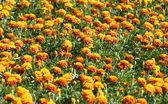 Orange flowers field — Stock Photo