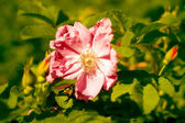 Dog-rose flower — Stock Photo