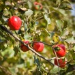 Red ripe apples on a branch — Stock Photo