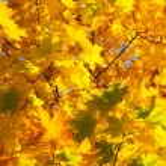 Autumn red foliage — Stock Photo