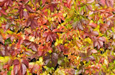 Saturated red autumn foliage — Stock Photo