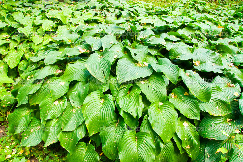 Plant With Big Green Leaves Images