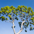 Pine-tree on blue sky background - Stock Photo