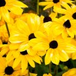Yellow flowers in a garden — Stock Photo