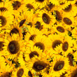 Yellow sunflowers in a sunny day - Stock Photo