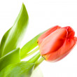 Red tulip closeup - Stock Photo