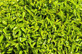 Bush green leaves — Stock Photo