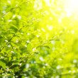 Green leaves and bright sun — 图库照片