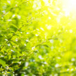 Green leaves and bright sun — Stock fotografie