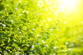 Green leaves and bright sun — Stock Photo