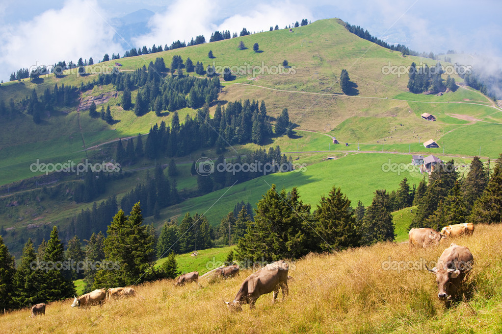 Alps landscape with cows on a field. — Stok fotoğraf #1849480