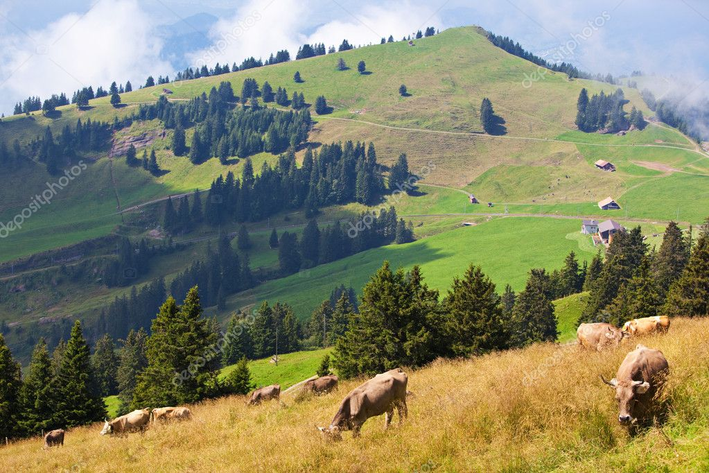Alps landscape with cows on a field.  Photo #1849480