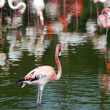 Pink flamingos — Stock Photo #1886877