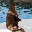 Walrus in oceanarium — Stock Photo