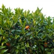 Stock Photo: Citrus tree