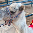 Portrait of egyptian camel in harness — Stock Photo #1888015