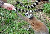 Lemur — Zdjęcie stockowe