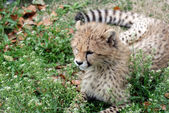 Cute baby cheetah — Stock Photo