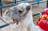Portrait of egyptian camel in harness — Stock Photo
