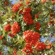 Foto de Stock  : Mountain ash