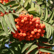 Mountain ash — Foto de Stock