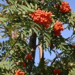 Mountain ash — Stock Photo #1254528