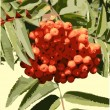 Vector image of mountain ash — ベクター素材ストック