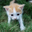 Stock Photo: White-red kitten