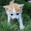White-red kitten — Stock Photo