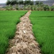Green rice field - Stock Photo