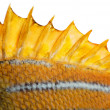 The top fin of a fish - Stock Photo