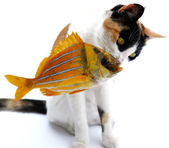 Cat and goldfish — Stock Photo