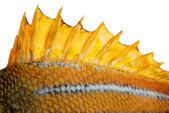The top fin of a fish — Stock Photo