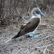 Blue Footed Boobie (Sula nebouxi) — Stock Photo