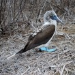 Stock Photo: Blue Footed Boobie (Sulnebouxi)