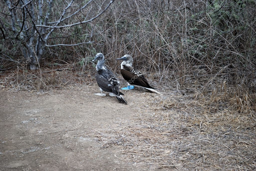 Blue footed booby with offspring (Sula neboux), Isla de la Plata Ecuador — Stock Photo #1185870