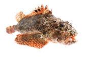 Peixe. poleiro de pedra — Foto Stock