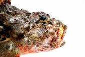 Cabeça de pedra fresca poleiro peixe — Foto Stock