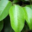 Green leaves of a rubber plant — Stock Photo