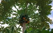 Fruit of the Hawaiian papaya — Stock Photo