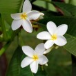 Stock Photo: White tropical flowers