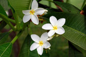 White tropical flowers — Stock Photo