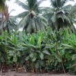 Stock Photo: Plantation of palm trees