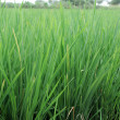 Stock Photo: Green rice field